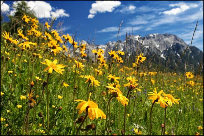 Arnica montana flowers