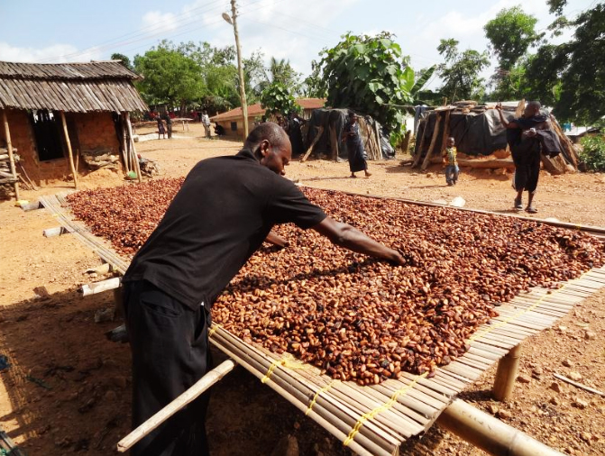 Drying cocoa beans in Ghana