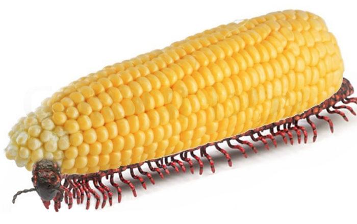 genetically modified food, Bt gene, GMO corn